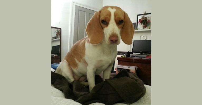 Photo of Isla, a Beagle  in St. Louis, Missouri, USA