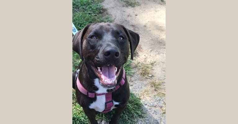 Photo of Jillian, an American Pit Bull Terrier, Rottweiler, and Boxer mix in Wynne, AR, USA