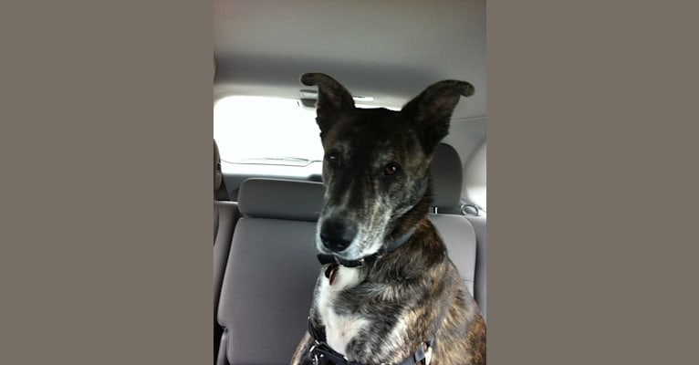 Photo of Timmy, an American Pit Bull Terrier, German Shepherd Dog, Akita, Siberian Husky, and Mixed mix in Tennessee, USA