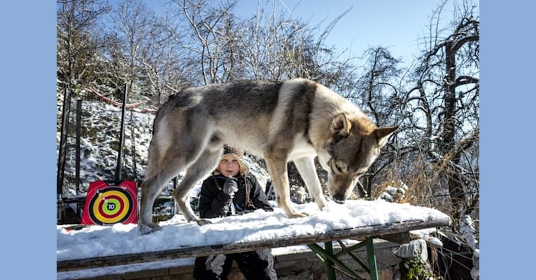 Photo of Ares, a Czechoslovakian Vlcak  in Cisnădie, Sibiu, Romania
