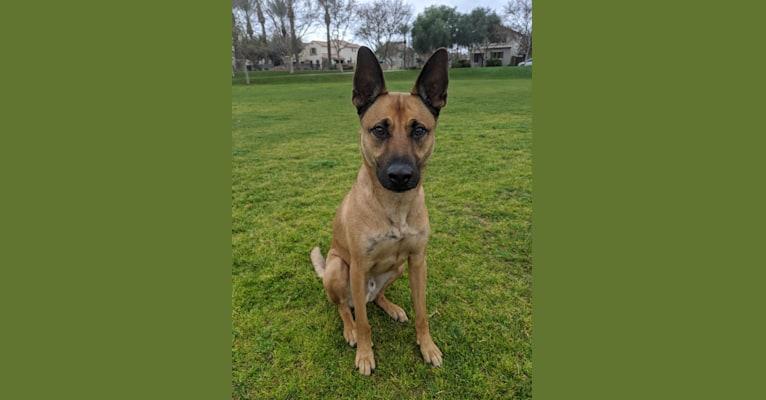Photo of Enzo, a German Shepherd Dog, American Pit Bull Terrier, American Staffordshire Terrier, Chow Chow, and American Bulldog mix in Phoenix, Arizona, USA