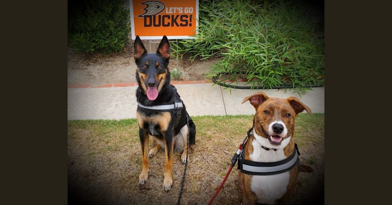 Photo of PUCK, an Australian Cattle Dog and German Shepherd Dog mix in California, USA