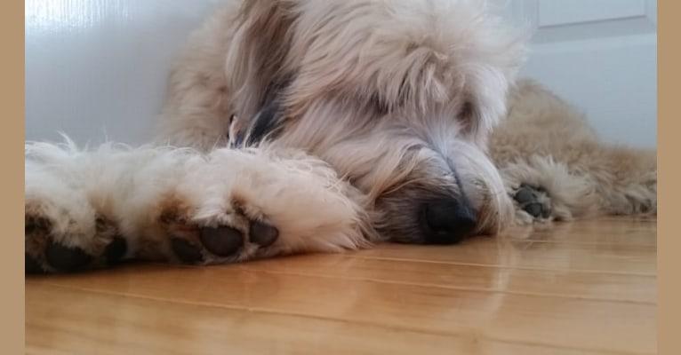Photo of Desmond, a Soft Coated Wheaten Terrier  in 23 Misty Lane, Buffalo, MO, USA