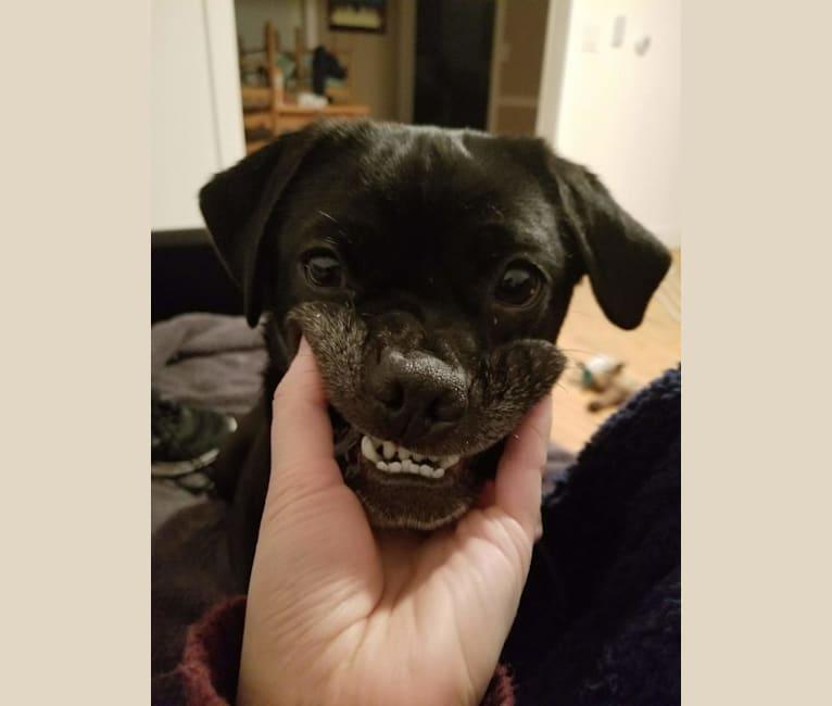 Photo of Freya, a Pug, Golden Retriever, and Labrador Retriever mix in Georgia, USA