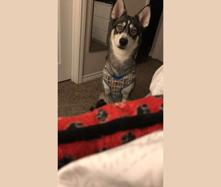 Photo of Nora, a Siberian Husky  in Dallas, Texas, USA