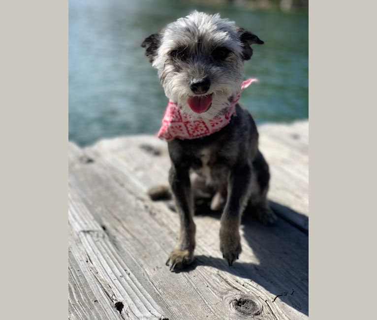 Photo of Bandit, a Chihuahua, Poodle (Small), and Mixed mix in Los Angeles, California, USA