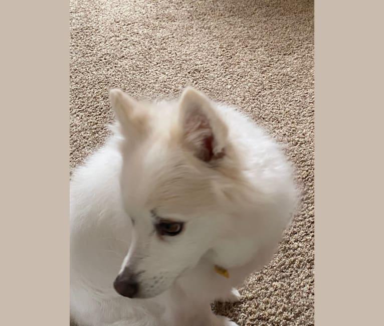 Photo of Bo, an American Eskimo Dog  in Loveland, CO, USA