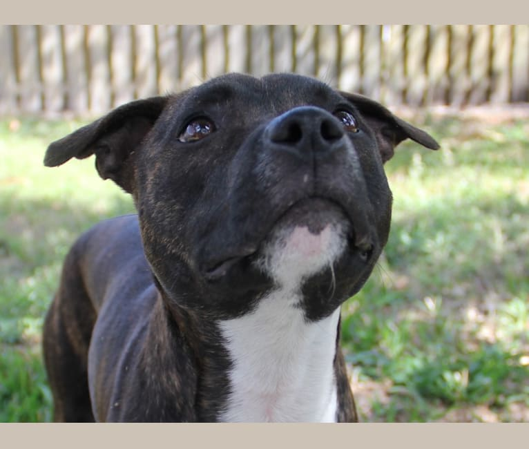 Photo of Ren, a Staffordshire Bull Terrier  in Florida, USA