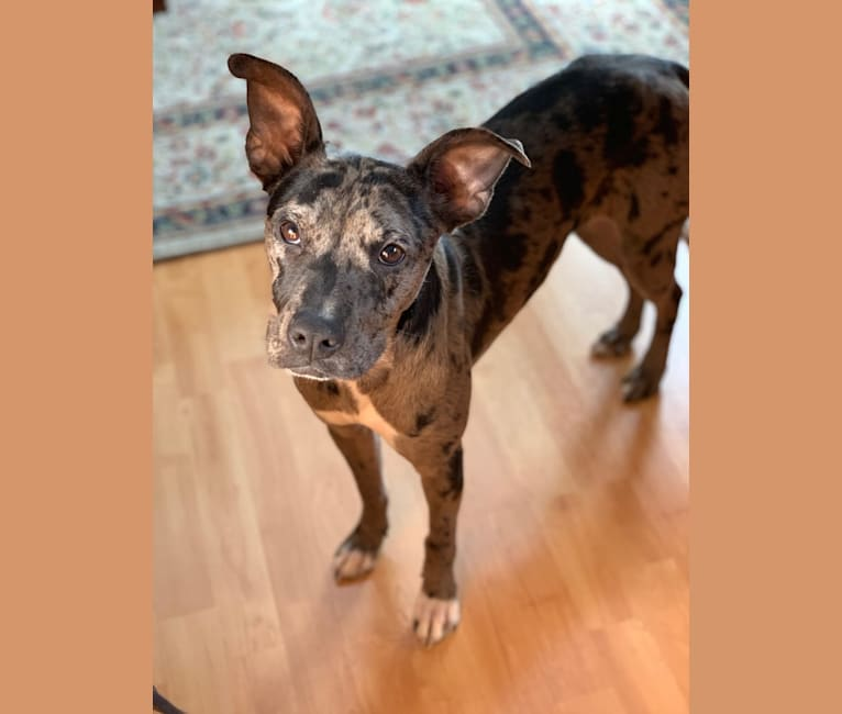 Photo of Winnie, an American Pit Bull Terrier and Australian Shepherd mix in Indianapolis, Indiana, USA