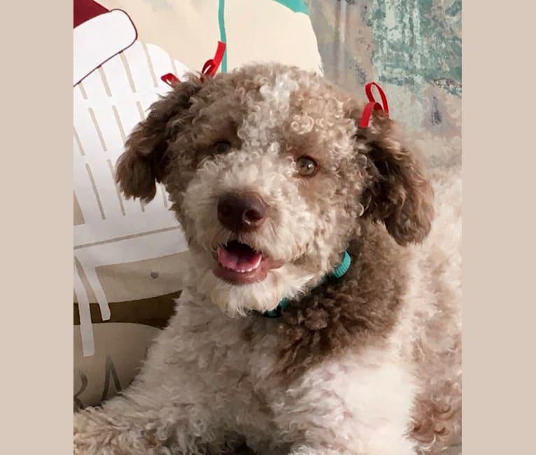 Photo of Winnie, a Lagotto Romagnolo  in Florida, USA