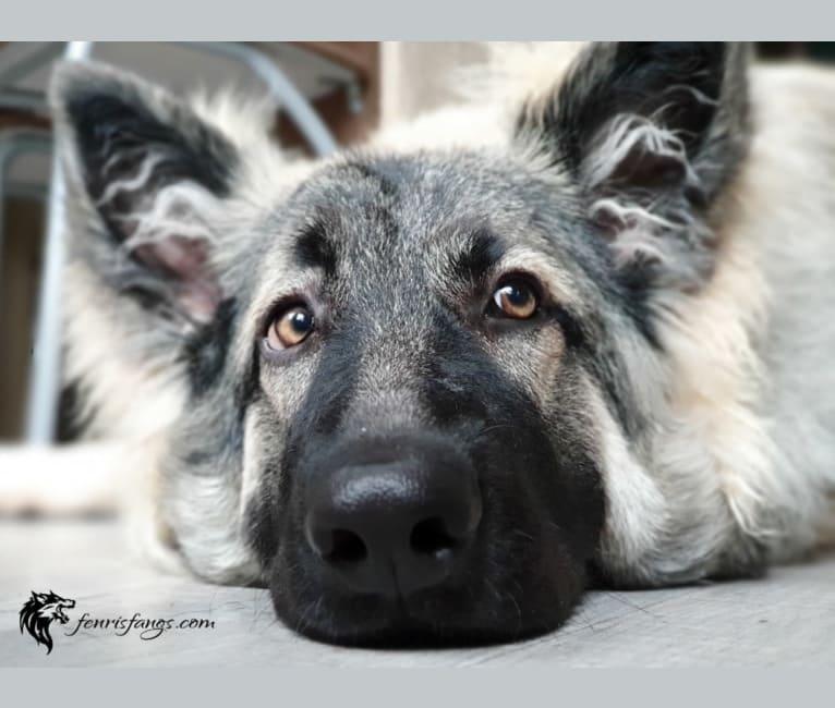 Photo of Gemma, a German Shepherd Dog