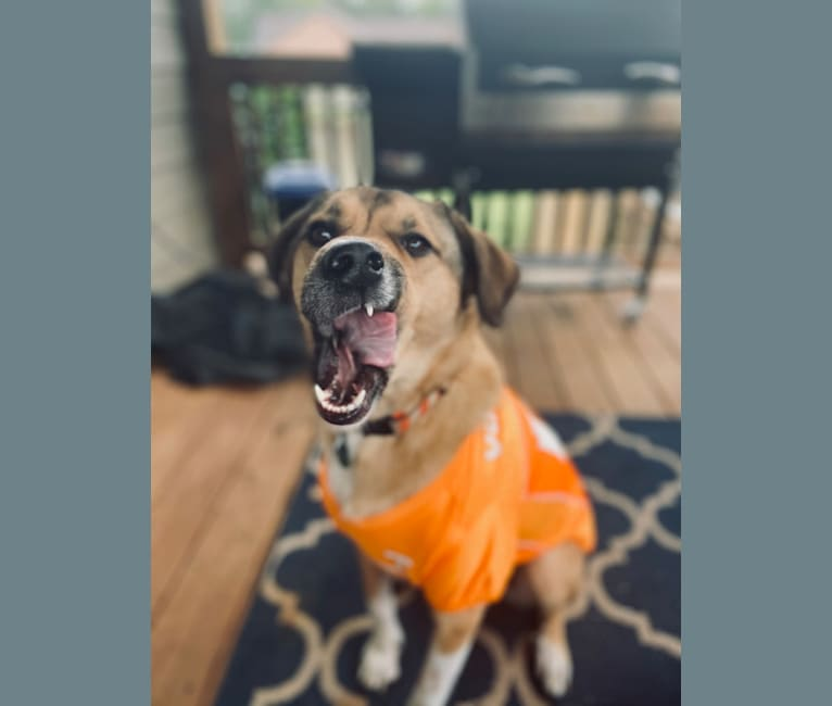 Photo of Russ, a Great Pyrenees, Boxer, and Mixed mix in Knoxville, Tennessee, USA