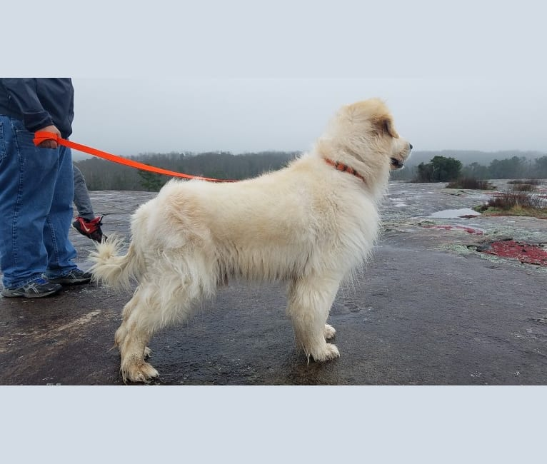 Photo of Sam, a Great Pyrenees, Chow Chow, Boxer, and Mixed mix in Atlanta, Georgia, USA