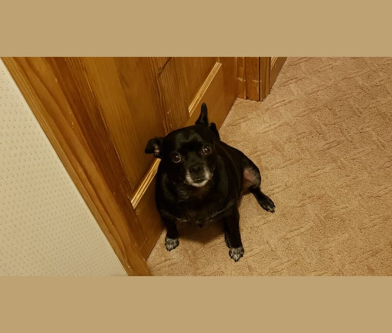 Photo of Ms. Dixie (Dixie Dew), a Pug, Pomeranian, and Chihuahua mix in Bridgewater, Virginia, USA
