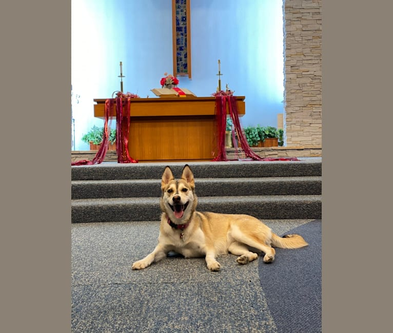 Photo of Thistle, a Siberian Husky, German Shepherd Dog, and Mixed mix in Claremont, California, USA