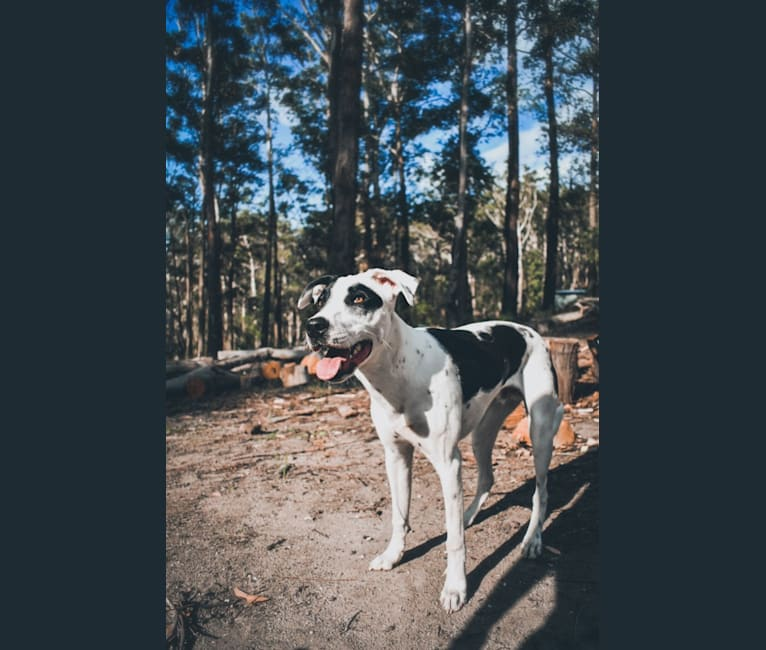 Photo of Cash, a Bull Terrier, Bullmastiff, Australian Cattle Dog, American Pit Bull Terrier, Cane Corso, Australian Kelpie, and Mixed mix in Sydney, New South Wales, Australia