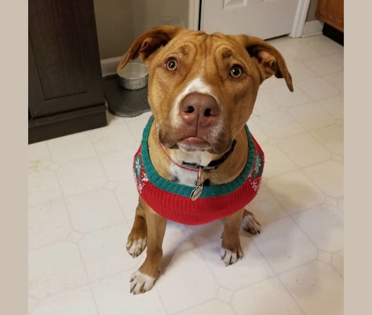 Photo of Levi, an American Pit Bull Terrier, Border Collie, Siberian Husky, Boxer, and Labrador Retriever mix in Chattanooga, Tennessee, USA