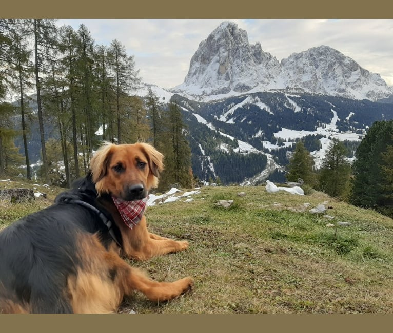Photo of Koda, an Eastern European Village Dog, Bernese Mountain Dog, and German Shepherd Dog mix in Croatia