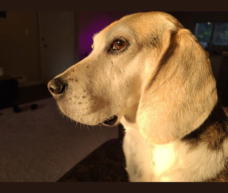 Photo of Bruce Wayne, a Beagle  in Everett, Washington, USA