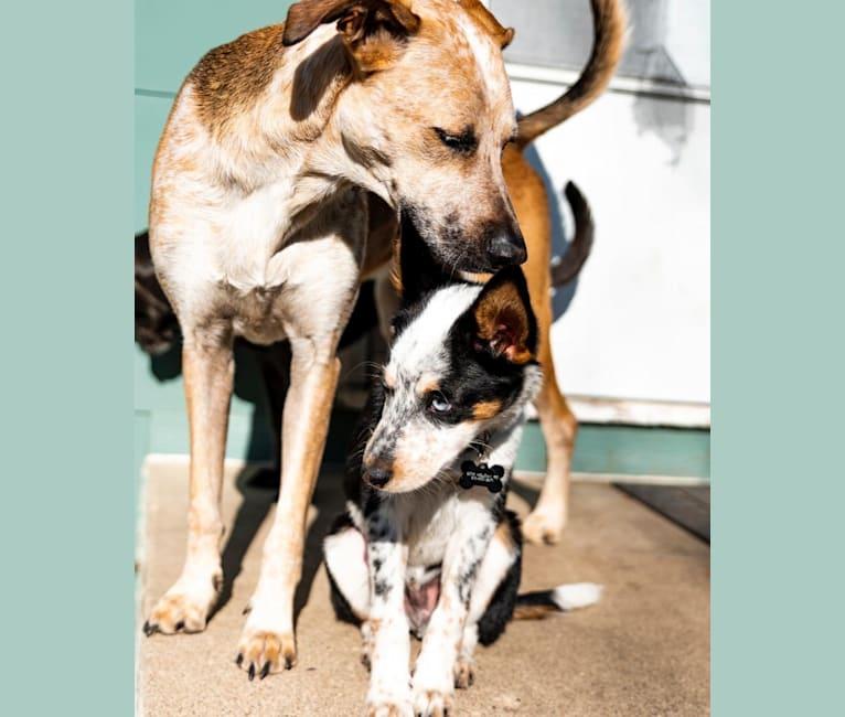 Photo of Jason, an Australian Cattle Dog, Siberian Husky, Cocker Spaniel, and Mixed mix in Oklahoma, USA