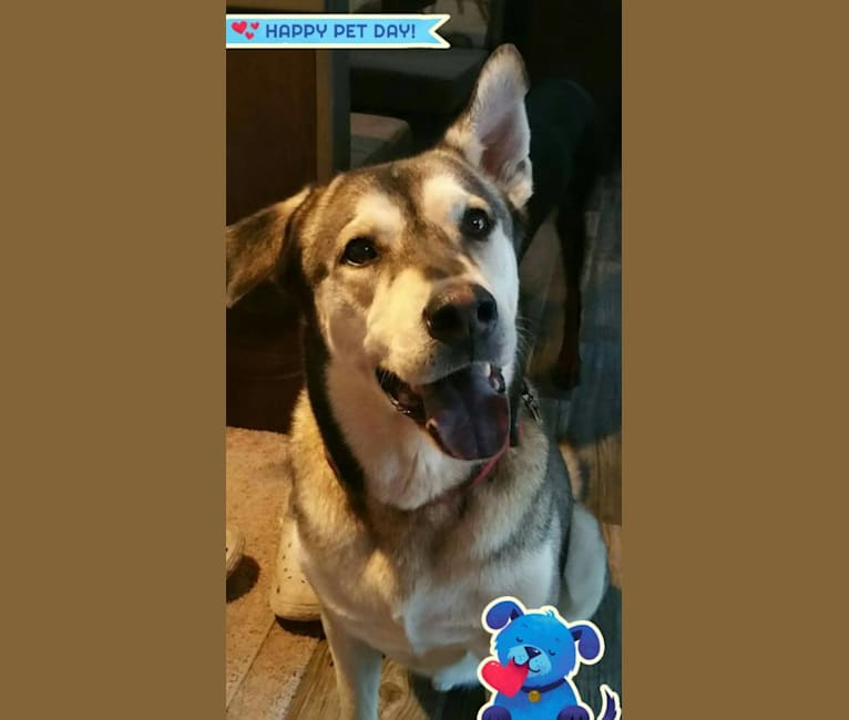 Photo of Blaze, a Chow Chow, Siberian Husky, American Pit Bull Terrier, German Shepherd Dog, and Mixed mix in Texas City, Texas, USA