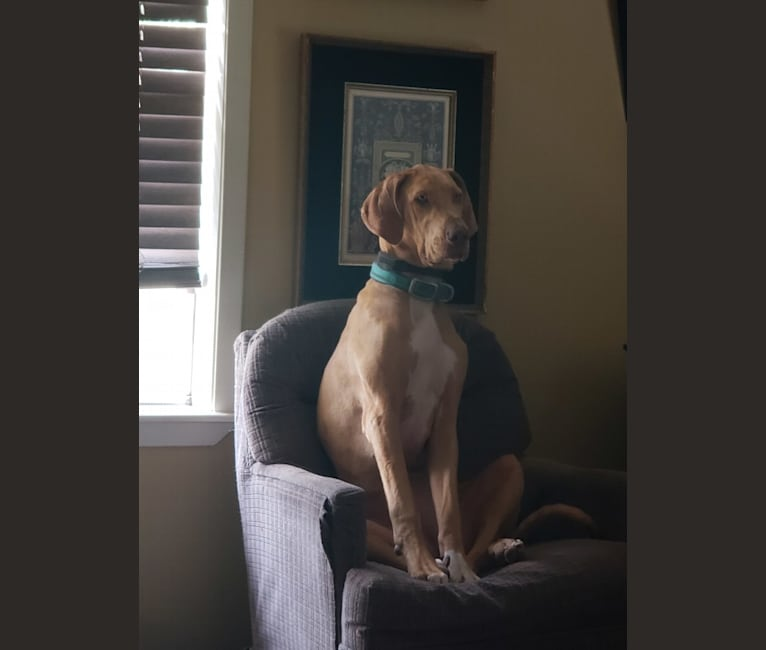 Photo of River, a Great Dane  in Rosenberg, Texas, USA