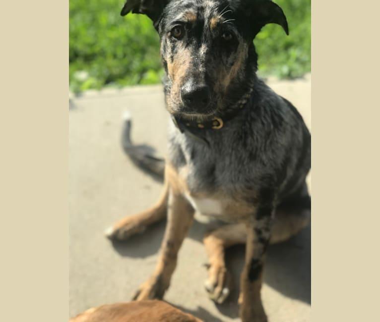 Photo of Louisiana Mae, a Catahoula Leopard Dog and German Shepherd Dog mix in Toledo, Ohio, USA