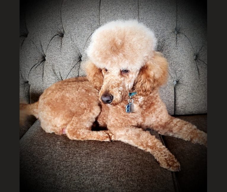 Photo of TEAGEN, a Poodle  in Oz Cockapoos And Doodles, West Hopewell Road, Holton, IN, USA