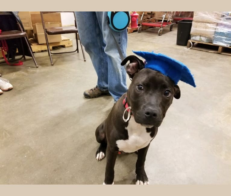 Photo of Bogey, an American Pit Bull Terrier, American Staffordshire Terrier, and American Bulldog mix in Harrisburg, South Dakota, USA