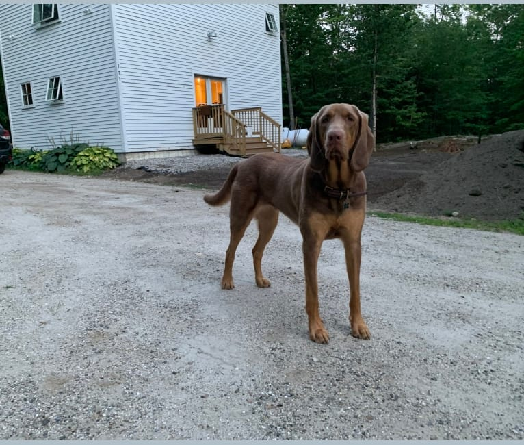 Photo of Abe, a Bloodhound and Labrador Retriever mix in Little Rock, AR, USA