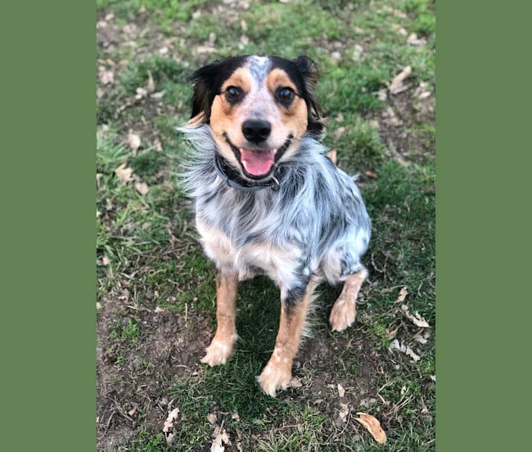 Photo of Banjo, an Australian Cattle Dog, Cocker Spaniel, Beagle, Russell-type Terrier, and Mixed mix in Lamar, AR, USA