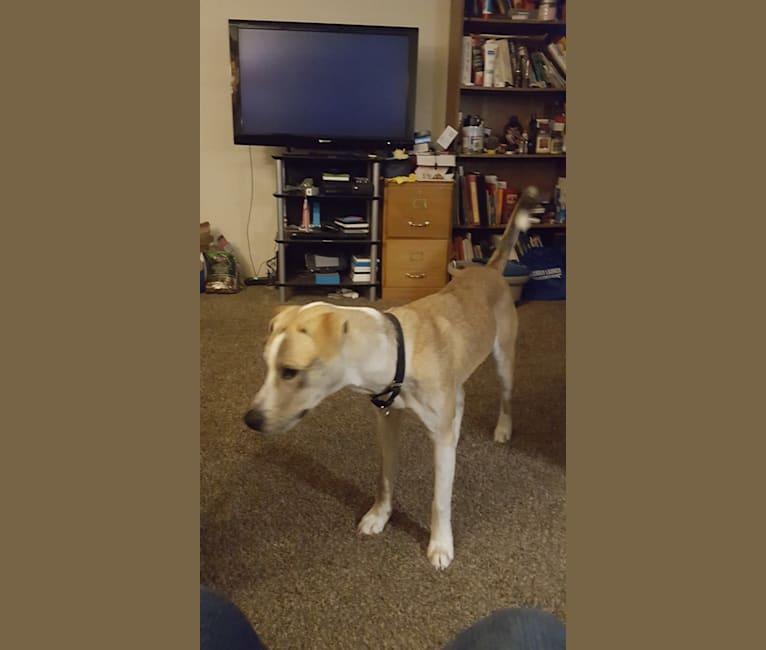 Photo of Tracker, an American Pit Bull Terrier, Siberian Husky, Belgian Malinois, Alaskan Malamute, and Mixed mix in Austin, Texas, USA