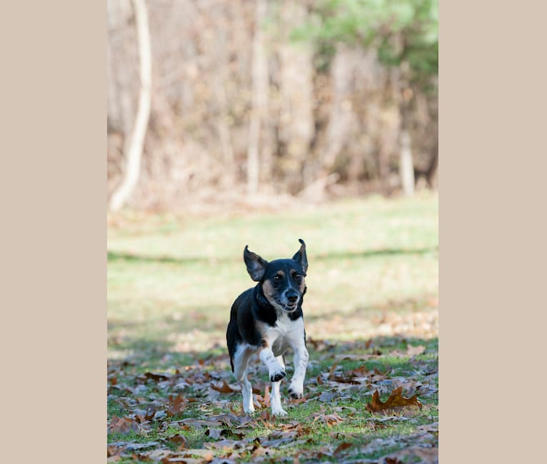 Photo of Annie, a Beagle, Australian Shepherd, Chow Chow, and Mixed mix in West Virginia, USA