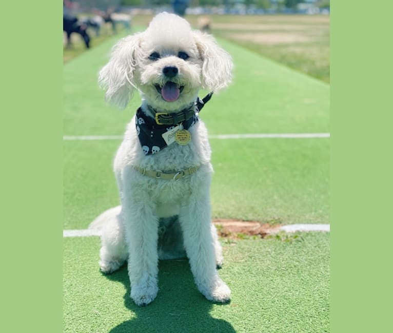 Photo of Phil, a Poodle (Small), Lhasa Apso, Chihuahua, and Mixed mix in Fresno, California, USA
