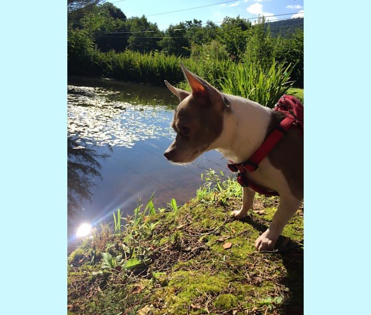 Photo of Moggie (Mogwai), a Chihuahua