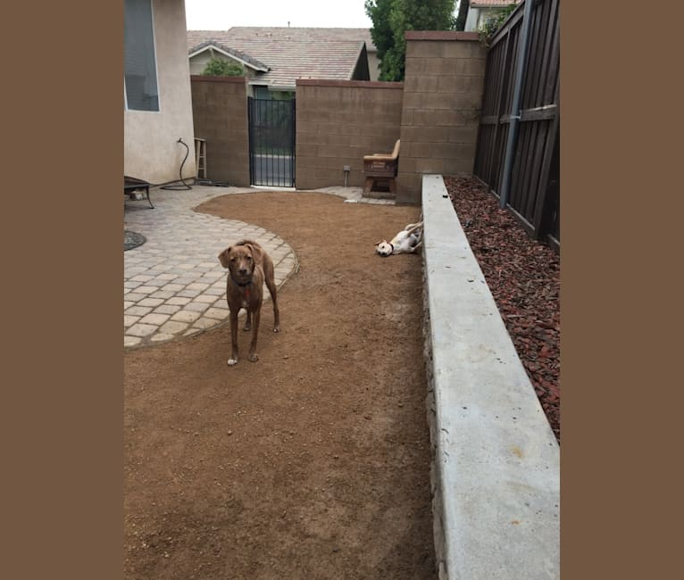 Photo of Copper, a Chihuahua, American Pit Bull Terrier, Pug, Poodle (Small), Miniature Pinscher, Pomeranian, and Chow Chow mix in Riverside, California, USA