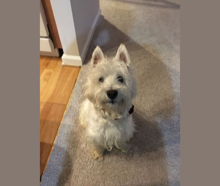 Photo of Dylan, a West Highland White Terrier  in Ellicott City, Maryland, USA