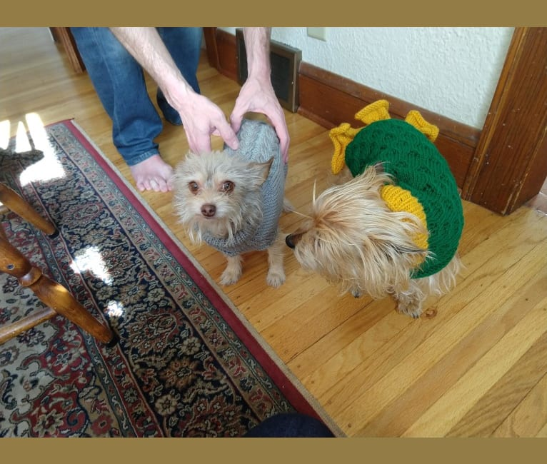 Photo of Daisy, a Chihuahua, Poodle (Small), and Miniature Pinscher mix in Isom, KY, USA
