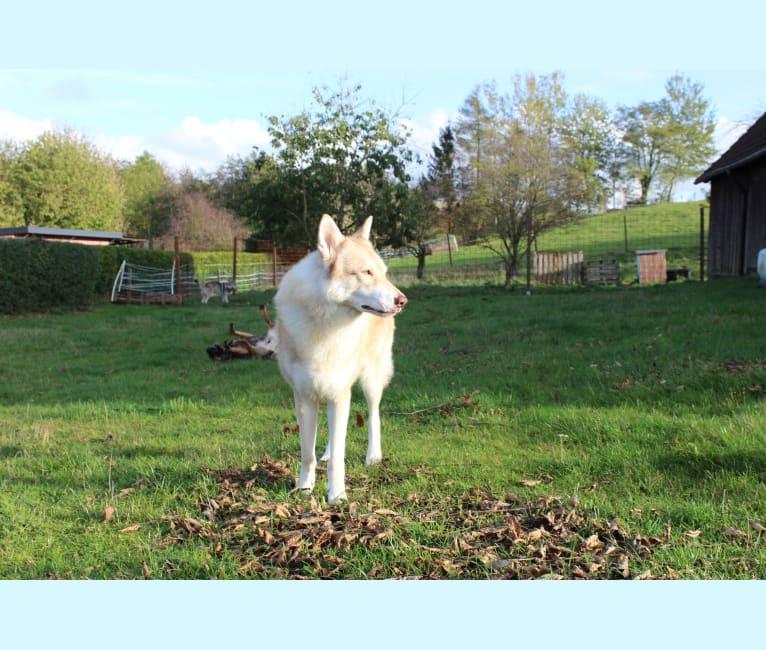 Photo of Marok, a Saarloos Wolfdog  in Norway