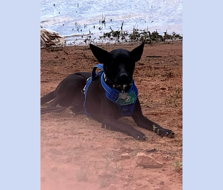 Photo of Wesley, an Australian Cattle Dog, Chihuahua, American Pit Bull Terrier, and Mixed mix in Goodyear, Arizona, USA