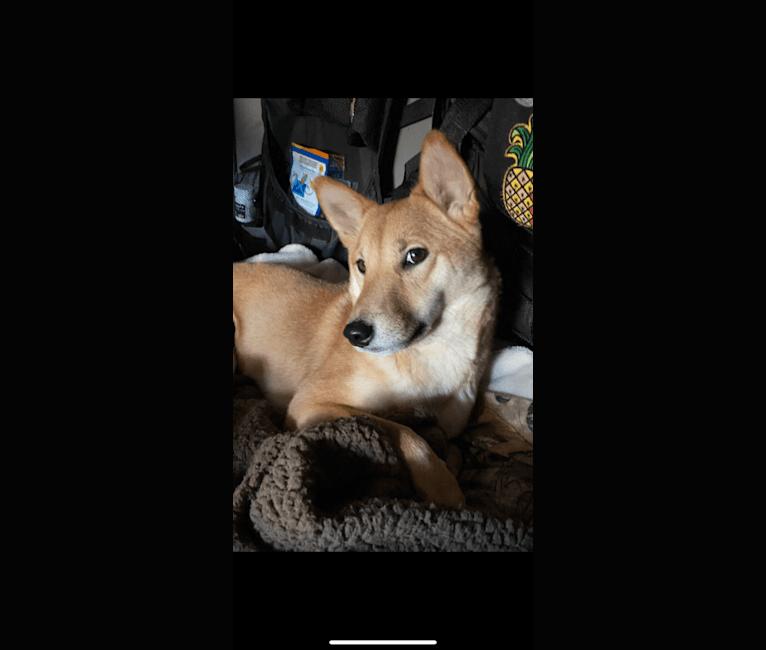 Photo of Kiara, a Shiba Inu  in San Diego, California, USA
