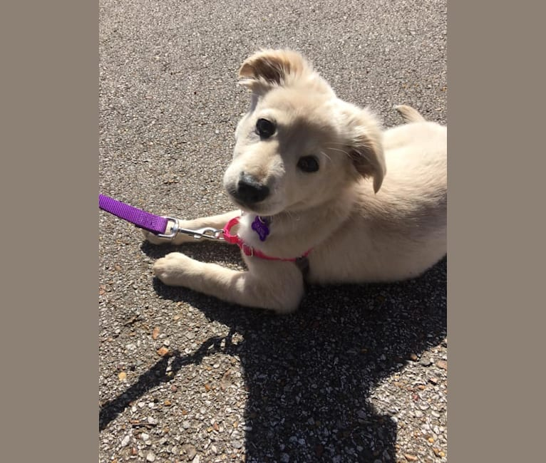 Photo of Flurry, a Rat Terrier, American Pit Bull Terrier, and Chow Chow mix in Memphis, Tennessee, USA