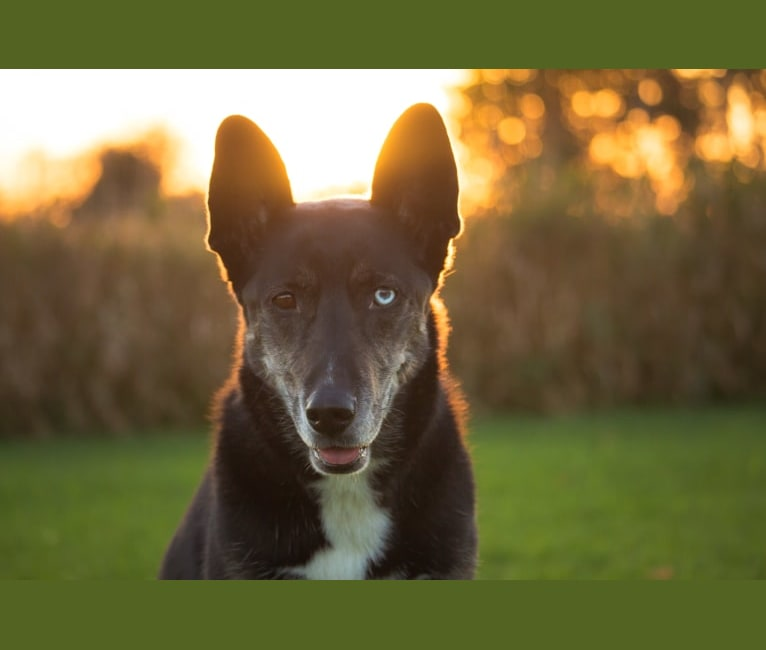 Photo of Koda, a Siberian Husky mix in Ottawa, Ontario, Canada