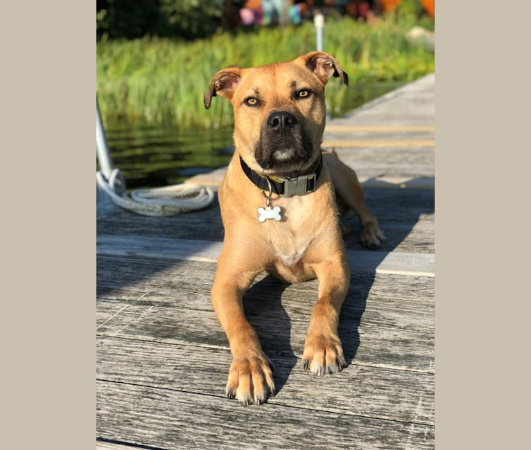Photo of Scooby, an American Pit Bull Terrier and Great Pyrenees mix in Nashville, Tennessee, USA