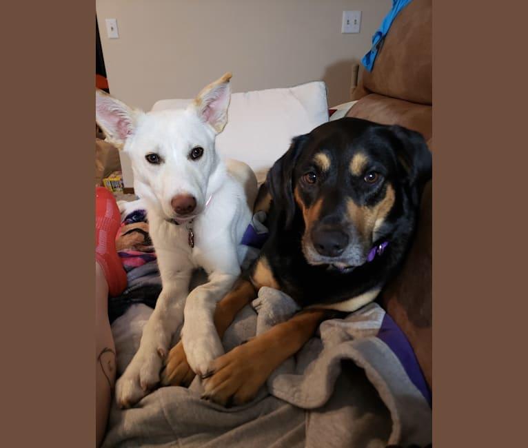 Photo of Penny, an Australian Cattle Dog, Siberian Husky, German Shepherd Dog, and Mixed mix in Minnesota, USA
