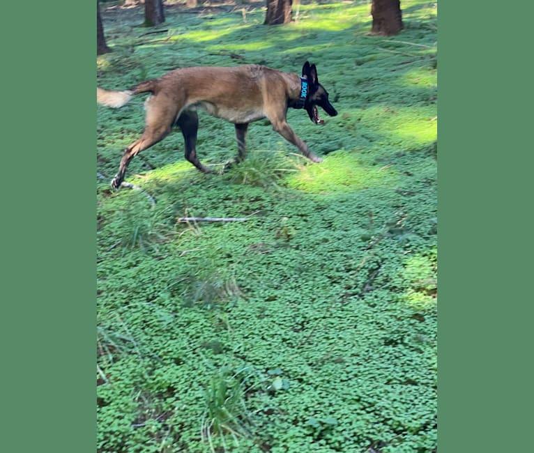 Photo of Rook, a Belgian Shepherd  in Salem, Oregon, USA