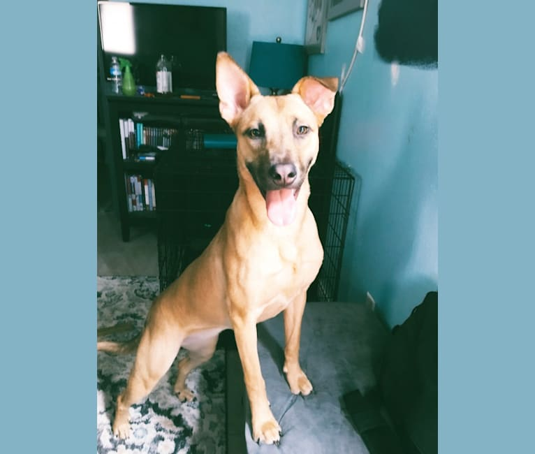 Photo of Lana Lucy, an Australian Cattle Dog, American Pit Bull Terrier, Chow Chow, Chinese Shar-Pei, German Shepherd Dog, Labrador Retriever, and Mixed mix in Houston, Texas, USA