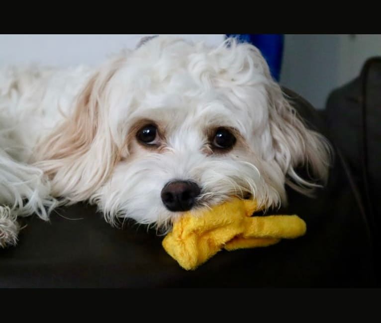 Photo of Poppy, a Cavalier King Charles Spaniel, Bichon Frise, and Poodle (Small) mix in Kansas, USA
