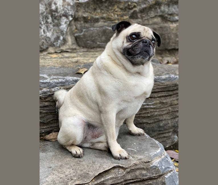 Photo of Hobo, a Pug  in Lawrenceburg, Tennessee, USA
