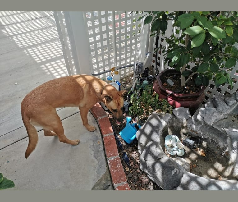 Photo of Chelsea, a German Shepherd Dog, American Pit Bull Terrier, and American Staffordshire Terrier mix in 尔湾, 加利福尼亚州, USA